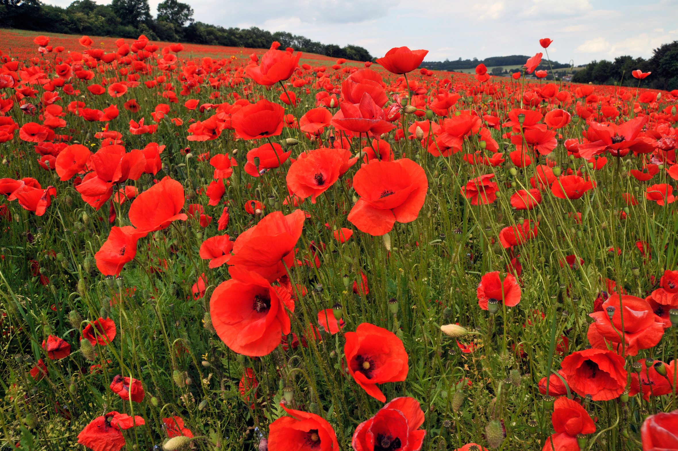 Local businesses host National Poppy Day May 26 | Opelika ...